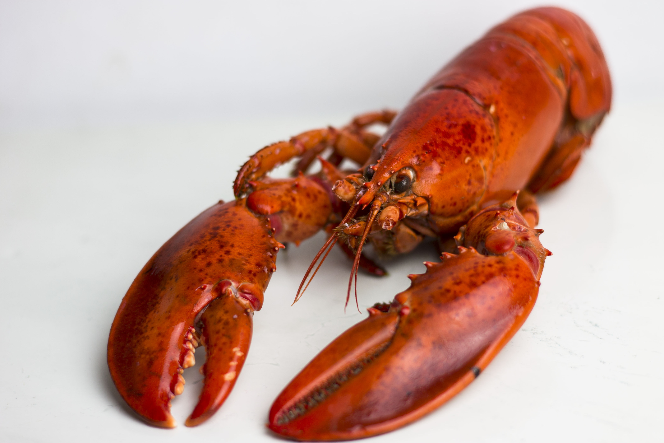 2.5 lbs. Fresh Live Maine Lobster ...